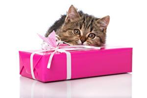 Картинки Кошки Котята Подарки Животные