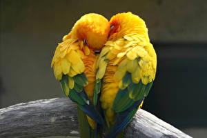 Фото Птицы Попугаи Любовь Двое Животные