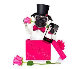 Картинка Собака Роза Праздники Бульдог Шляпа Розовый Смартфон Коробка Бантик Галстук-бабочка животное