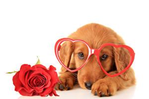 Картинки День всех влюблённых Собаки Розы Ретривер Очки Сердце Взгляд Животные