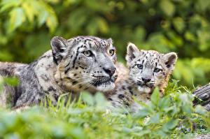 Фото Барсы Детеныши Вдвоем животное
