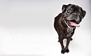 Картинки Собаки Черный Мопс