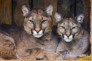 Обои Пума Вдвоем Смотрит животное