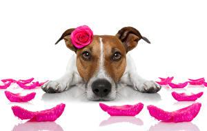 Фотографии Собаки Розы Джек-рассел-терьер Лепестки Морда Лап Смешной животное