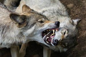 Фотографии Волки Двое Злость Животные