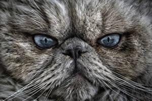 Картинка Кот Глаза Морды Взгляд Усы Вибриссы Нос животное