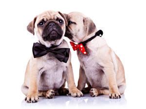 Обои Собаки Бульдог Двое Бант Галстук-бабочка животное