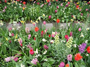Картинки Тюльпаны Нарциссы Гиацинты Наперстянка