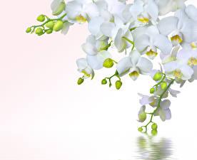 Картинка Орхидеи Вблизи Белый цветок