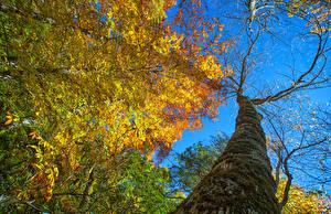 Обои Осень Ствол дерева Деревья Ветки Листья Вид снизу Природа фото