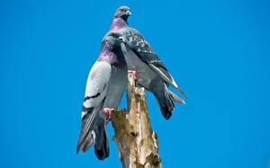 Обои Птицы Голуби Двое