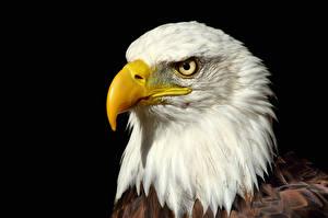 Обои Ястреб Клюв Головы Белоголовый орлан Животные