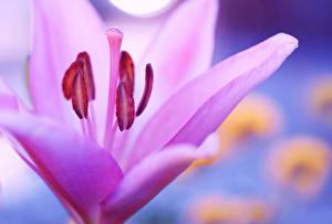 Фотографии Лилии Крупным планом Макросъёмка Розовый Цветы