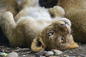 Обои Львы Детеныши Взгляд Животные фото