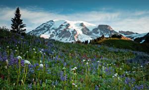 Обои США Парки Горы Одуванчики Люпин Луга Пейзаж Трава Маунт-Рейнир парк Природа фото