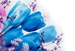 Фотография Тюльпаны Голубой Цветы