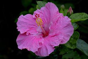 Фотография Гибискусы Вблизи Розовый Цветы