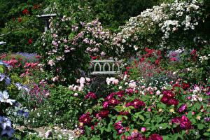 Обои Англия Сады Роза Много Кусты Rosemoor Gardens Devon Цветы