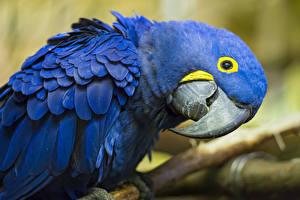 Фото Птица Попугаи Ара (род) Синие Клюв Животные