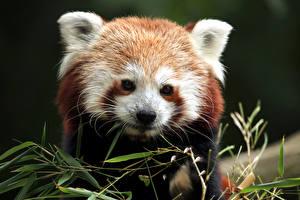 Фотография Малая панда Морда Животные