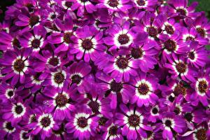 Фотографии Цинерария Много Крупным планом Фиолетовый