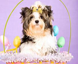 Фото Собаки Пасха Йоркширский терьер Яйца