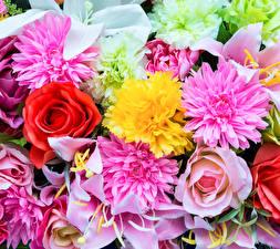 Фотографии Розы Георгины Лилии Крупным планом Цветы