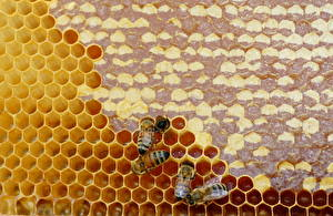 Фото Мед Пчелы Насекомые Пчелиные соты