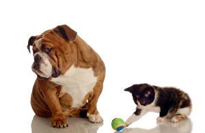 Картинки Собаки Коты Котенок Бульдог Вдвоем Мяч Животные