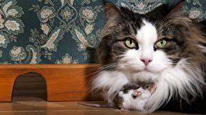 Обои Кошки Мыши Смотрит Двое
