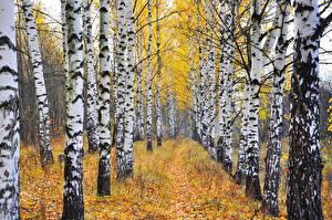 Обои Осень Деревья Березы Ствол дерева Природа фото