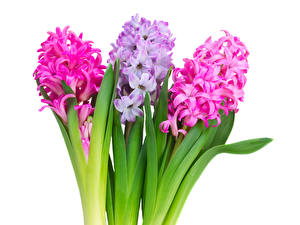 Фотография Гиацинты Крупным планом Трое 3 Цветы