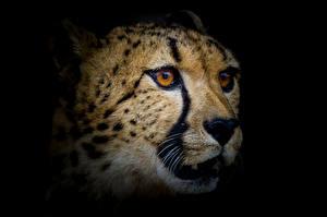Фотография Гепарды Морда Взгляд Животные