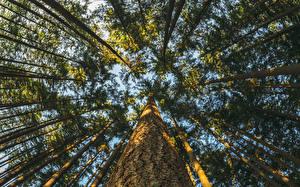 Обои Леса Ствол дерева Деревья Вид снизу Природа фото