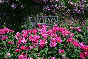 Обои Англия Сады Розы Скамья Rosemoor Gardens Devon Цветы