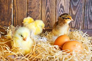 Картинка Цыплята Яйца Солома Животные