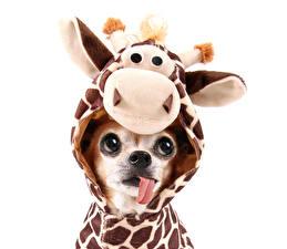 Картинка Собаки Жирафы Глаза Чихуахуа Униформа