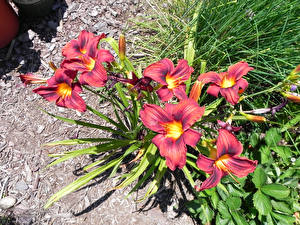 Обои Лилии Крупным планом Бордовый Бутон Цветы