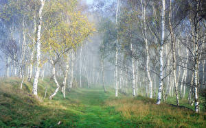 Обои Леса Осень Березы Трава Туман Деревья Природа фото