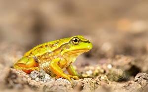 Фотография Лягушки Животные