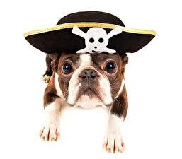Обои Собаки Пираты Бульдог Шляпа Животные