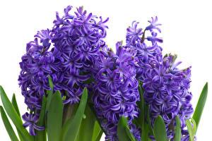 Фотография Гиацинты Вблизи Фиолетовых Цветы