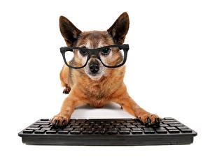 Картинка Собаки Клавиатура Чихуахуа Очков Животные
