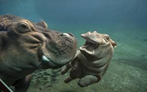 Фотографии Бегемоты Подводный мир Детеныши Две животное