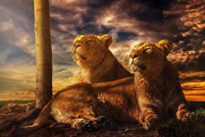 Фотография Большие кошки Львы Рассветы и закаты Львица Двое HDRI Животные