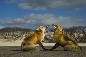Фотографии Лисы Двое Животные