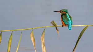 Картинки Обыкновенный зимородок Птицы
