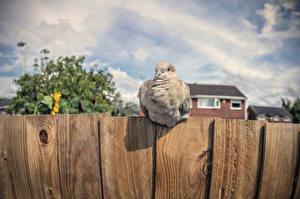 Картинка Голубь Птица Забор