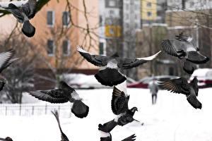 Картинки Голубь Птица Животные