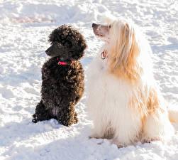 Фотография Собаки Снег Китайская хохлатая Пудель 1ZOOM